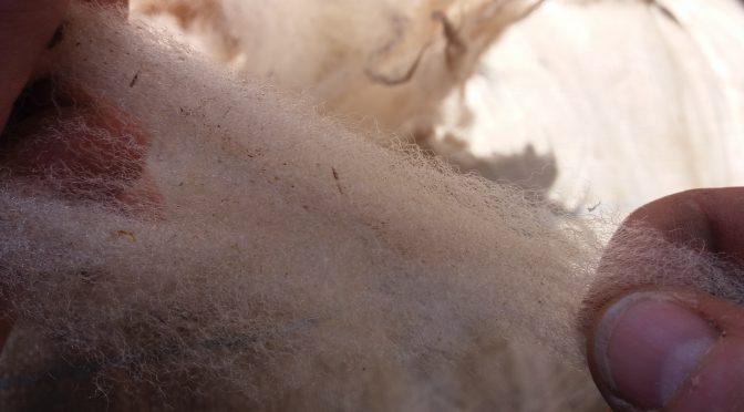 Réception laine en suint